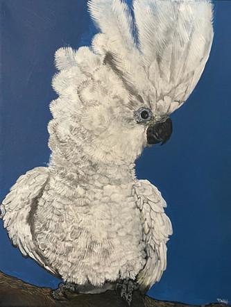 Boo the Cockatoo