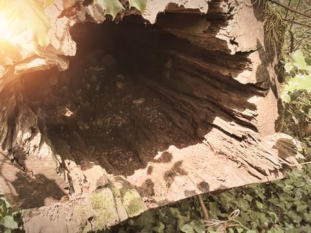 Recevoir les message de l'IF cet arbre Ancestral symbolisant, la Vie, la Mort et la Renaissance...