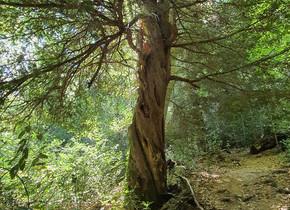 Recevoir les message de l'IF cet arbre Ancestral symbolisant, la Vie, la Mort et la Renaissance.