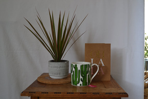 Dracena Marginata Bicolour with pot