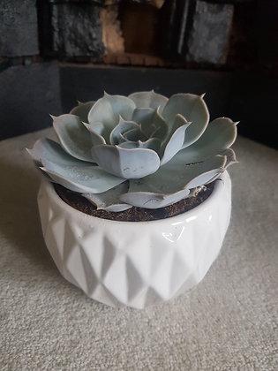 Echevaria 'Lilacina'