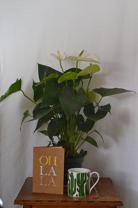 Anthurium 'Samora'