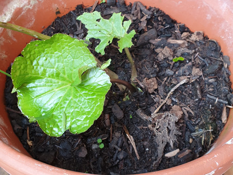 Adaptogene Heilpflanzen