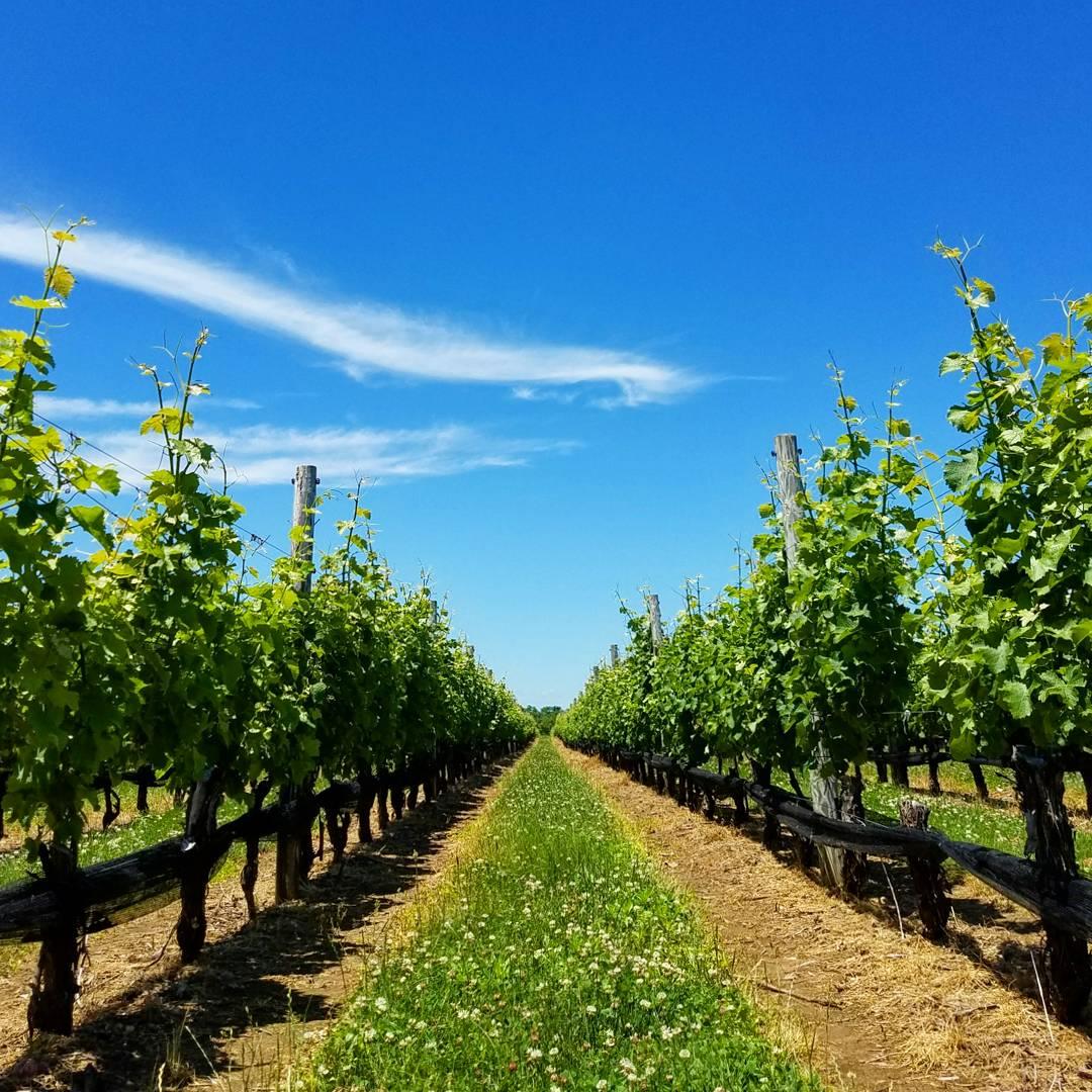 vineyards oct 2017 (40)