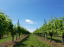 vineyards oct 2017 (62)