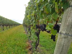 vineyards oct 2017 (67)
