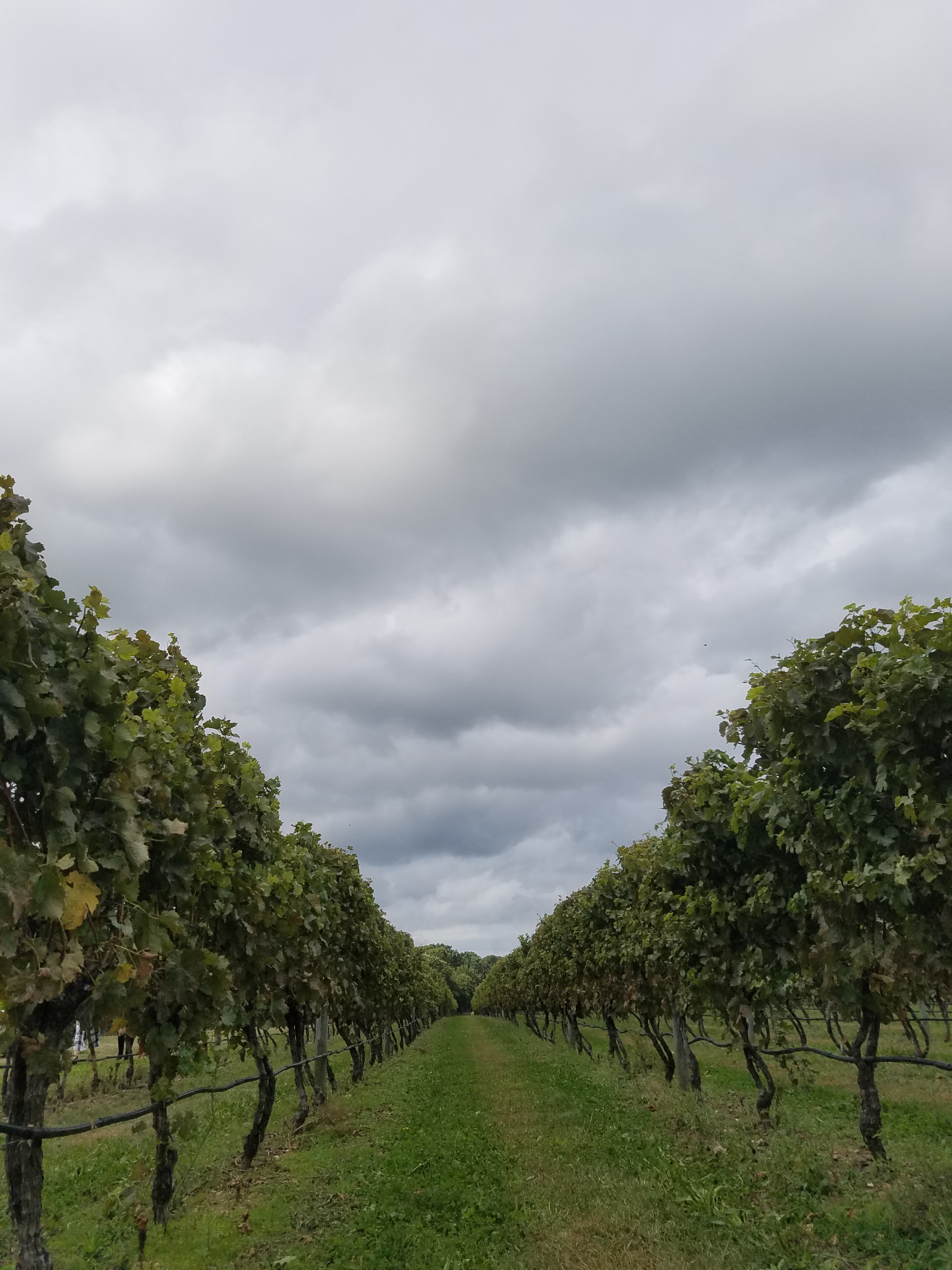 vineyards oct 2017 (65)