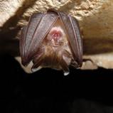 The bats of Macedonia