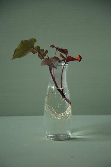 כלי זכוכית קטן לגידול אבוקדו, יקינטון או לייחור צמחים