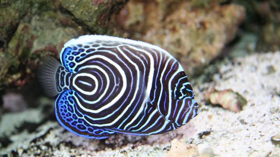Emperator Juvenile Angelfish Sri Lanka