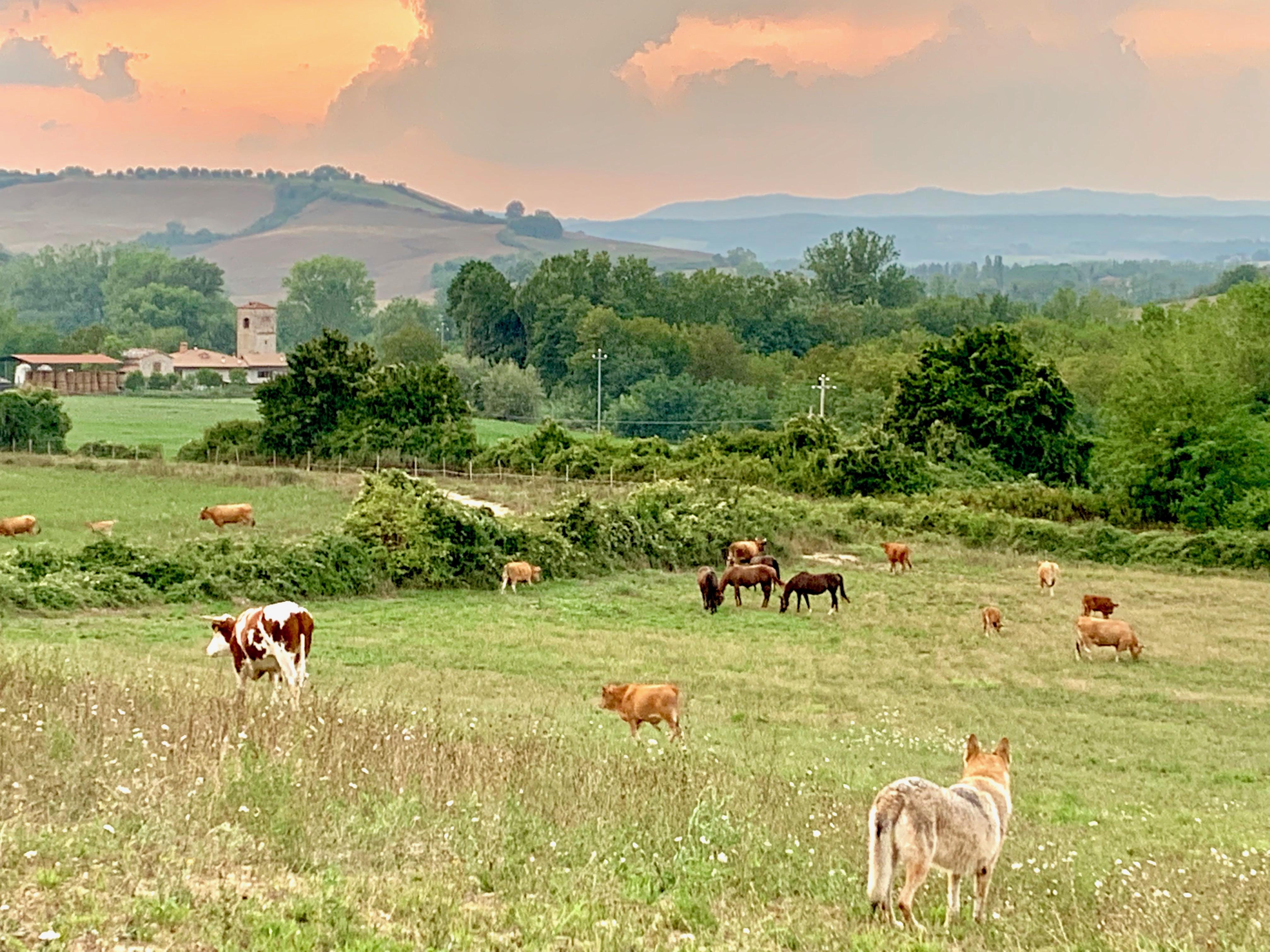 mucche e cavalli insieme al pascolo