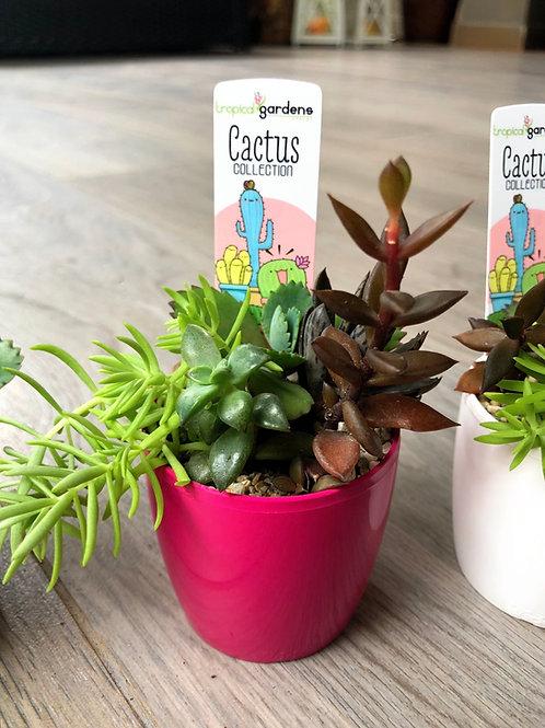 Jardín de suculentas miniatura (6 cm)