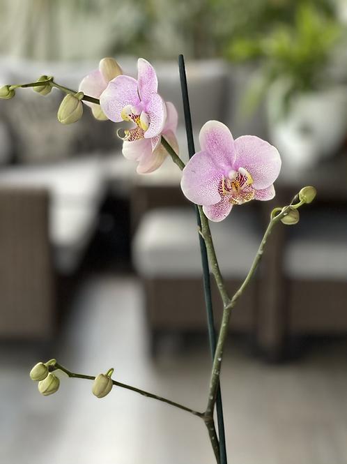 Orquídea Phalaenopsis 1 tallo