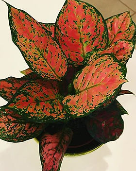 #aglaonema 😍 ideal para interior o luga