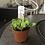 "Thumbnail: Mini Kalanchoe en pote plástico de 2.5"""