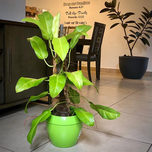 Philodendron Lemon Lime Mediano