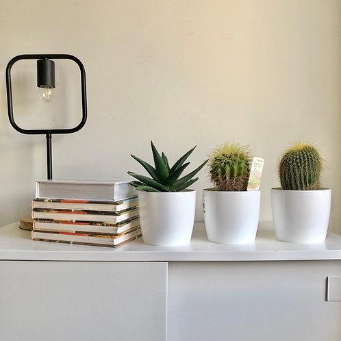 Trio de Cactus en maceta de 12cm