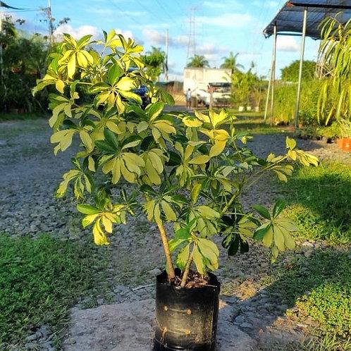 Schefflera variegata