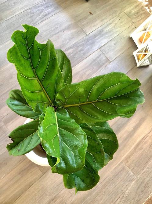Ficus Lyrata (1 metro)