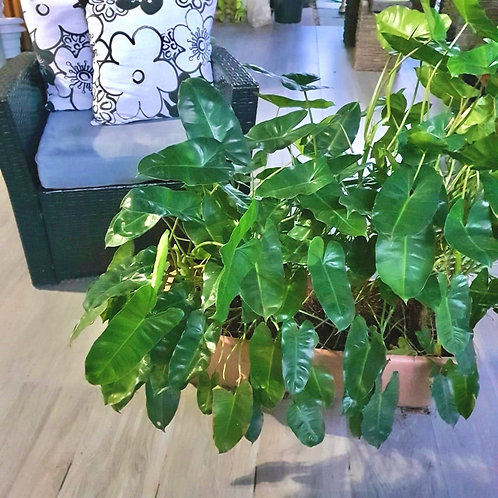 Philodendron Burle Marx XL