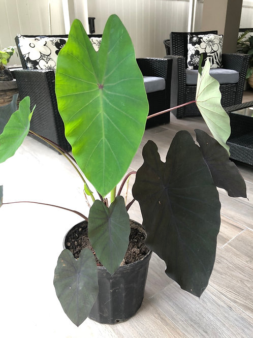 Alocasia Black magic