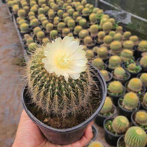 """Cactus Bola de Oro en pote de 6"""""""