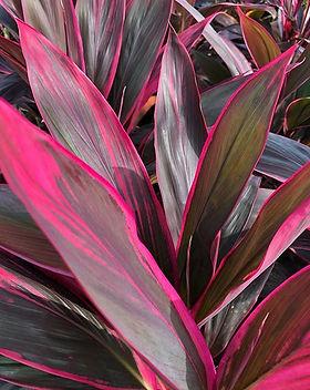Planta Cordiline. Ideal para tus jardine