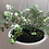 Thumbnail: Planta Lentejita en Canasta Elba 21.5cm