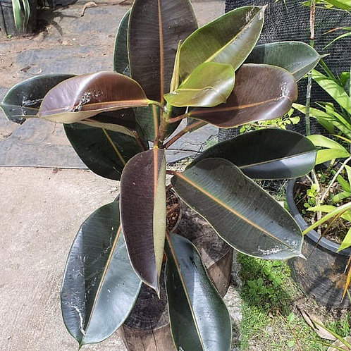 Ficus Elastica