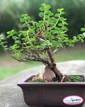 Mini Jade Pre Bonsai Tree_._._._#plantsh