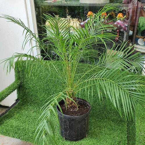 Palma Phoenix Roebelinii