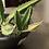 Thumbnail: Stapelia Gigantea en Canasta Elba 21.5cm