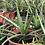 Thumbnail: Aloe Vera (mediana)