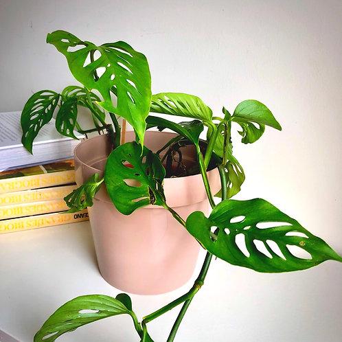 Promo Planta Monstera Adansonii pequeña + Maceta Classic 18cm