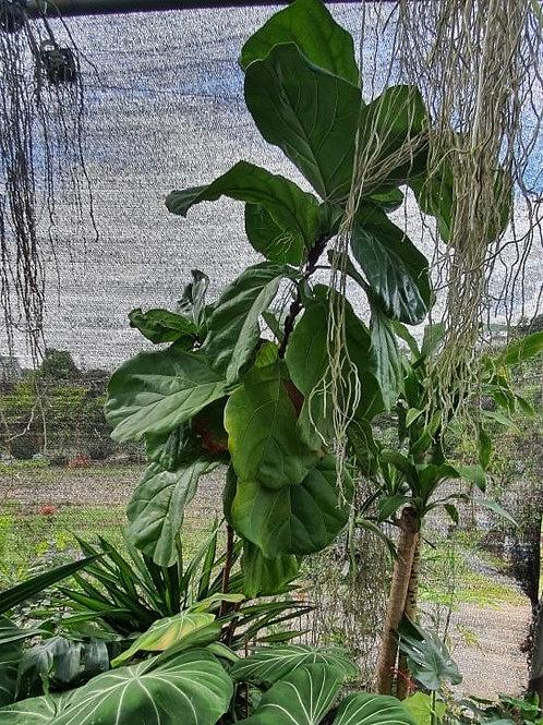 Ficus Lyrata (1.60 metros)