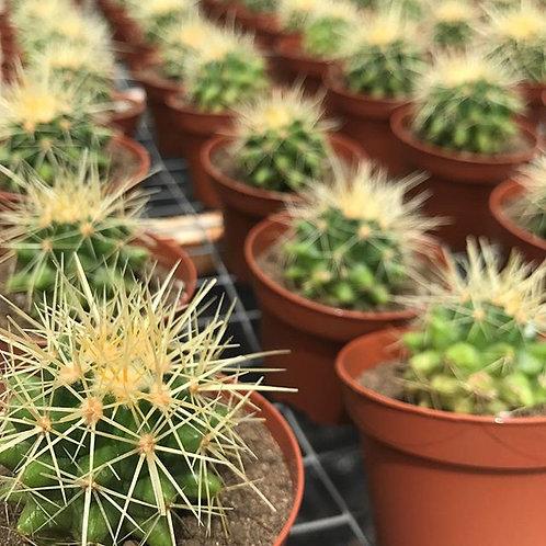 Mini Cactus Echinocactus Grusonii