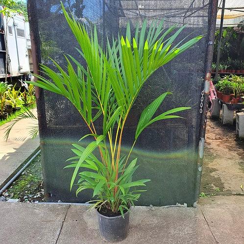 Palma Roja 1.5 metros (Cyrtostachys Renda)