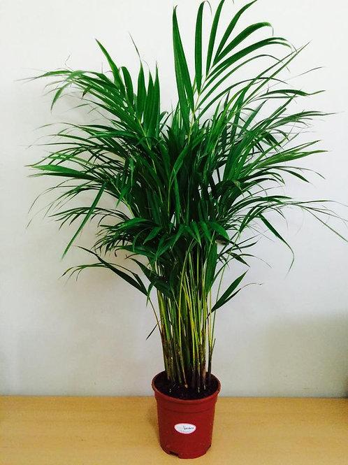 Palma Areca o Dypsis lutescens