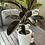 Thumbnail: Ficus Elastica