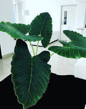 Alocasia 😍 esta planta la puedes utiliz