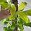 Thumbnail: Tótem Philodendron Lemon Lime