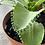 Thumbnail: Kalanchoe en pote plástico de 20cm