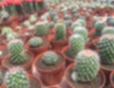 Sábes como cuidar tus cactus?