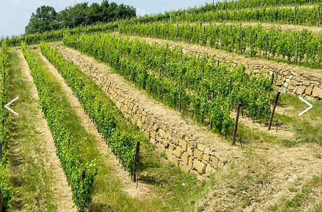 Lamole-di-Lamole-terraced-vineyards.jpg