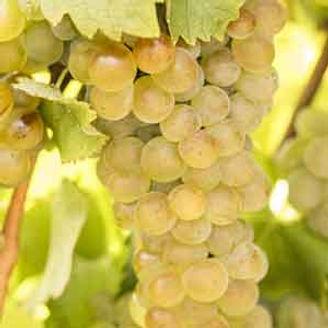 Viognier grape.jpg