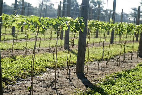 sanctuary vineyards.jpg