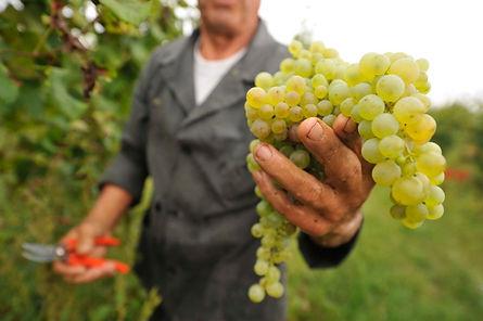glera grapes.jpg