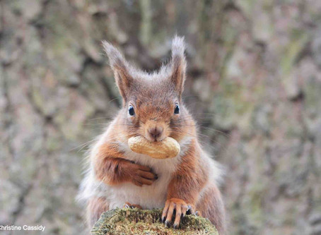 How cute is this Red Squirrel - Red Squirrel Awareness Week