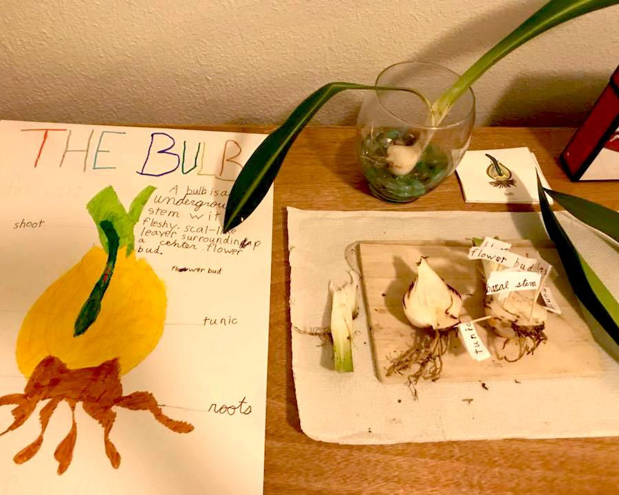 Bulbs and seeds