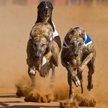 greyhound-racing-12.jpg